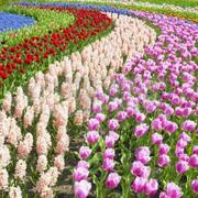 Тюльпаны от производителя к 8 марта.