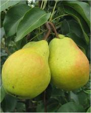 Саженцы плодовых и ягодных (вышлем почтой)