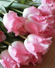 Тюльпаны к 8 Марта !!!!!
