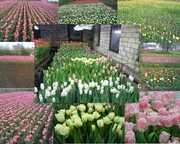 луковицы тюльпанs