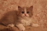 Котята селкирк-страйт