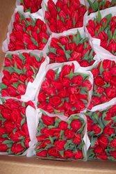 Тюльпаны оптом от производителя к 8 марта и 14 февраля в РБ