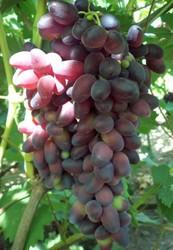 Купить саженцы винограда в Беларуси