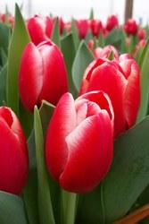 Тюльпаны оптом к 14 февраля и 8 марта!