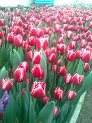 тюльпаны к 8 марта оптом 15 сортов....................................