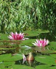 Продам водные лилии  (Nymphaéa)