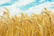 Зерно (кукуруза,  пшеница,  рожь,  ячмень,  тритикале)