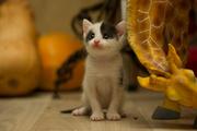 Очаровательный котенок (мальчик) в дар