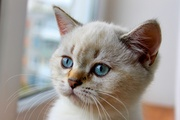 Британский котик окраса шоколадный линкс-поинт