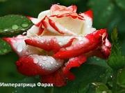 Розы Чайногибридные,  Шрабы,  Спреи.