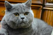 Крупный кот британской породы