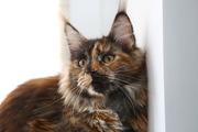 СРОЧНО! Котенок (девочка) породы мейн-кун