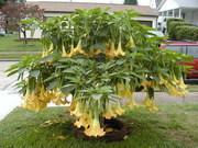 Бругмансии- крупные садовые растения