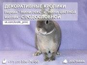 Декоративные кролики мини рекс и цветной карлик Минск