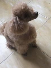Стрижка пуделей и других пород собак в Минске