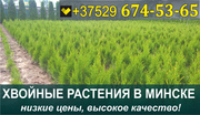 Растения хвойные в Минске. Низкие цены.