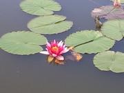Лилии (нимфеи) для пруда