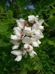САЖЕНЦЫ АКАЦИИ БЕЛОЙ (Acacia albida) ~0, 5-1, 5 м