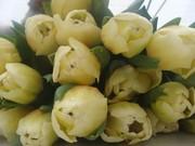 Тюльпан опт и розница  к 8 марта