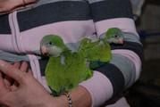 Птенцы выкормыши ручные калита монах