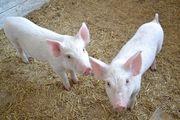 Молодые поросята (свиньи)
