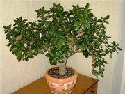 Денежное дерево (Толстянка,  Красула) разных размеров
