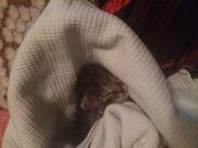 Спасенная от верной гибели на скоростной дороге 1, 5 недельная кошечка