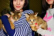 азиатские леопардовые кошки(алк) и камышовые коты.
