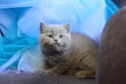 Британские Котята Без Примеси Других пород