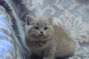 Очаровательна Британская Кошечка