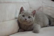 Британская Кошечка Лилового окраса