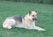 Собака в дар (Метис овчарки)
