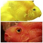 Попугай Желтый и Попугай красный.