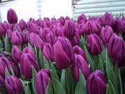 Тюльпан Purple Flag фиолетовый цвет