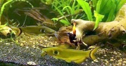 Павлиний  Сом (Horabagrus brachysoma)