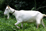 Высокоудойная зааненская коза безрогая белая
